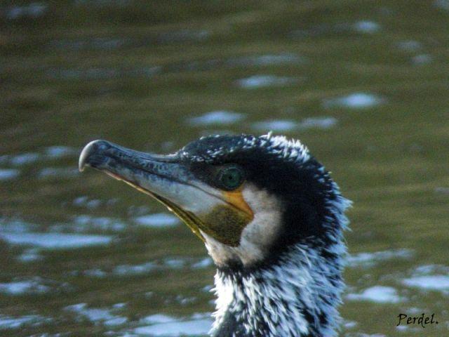 Cormoran Grande.Phalacocorax carbo