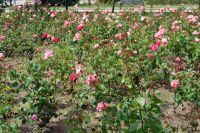 mis rosas