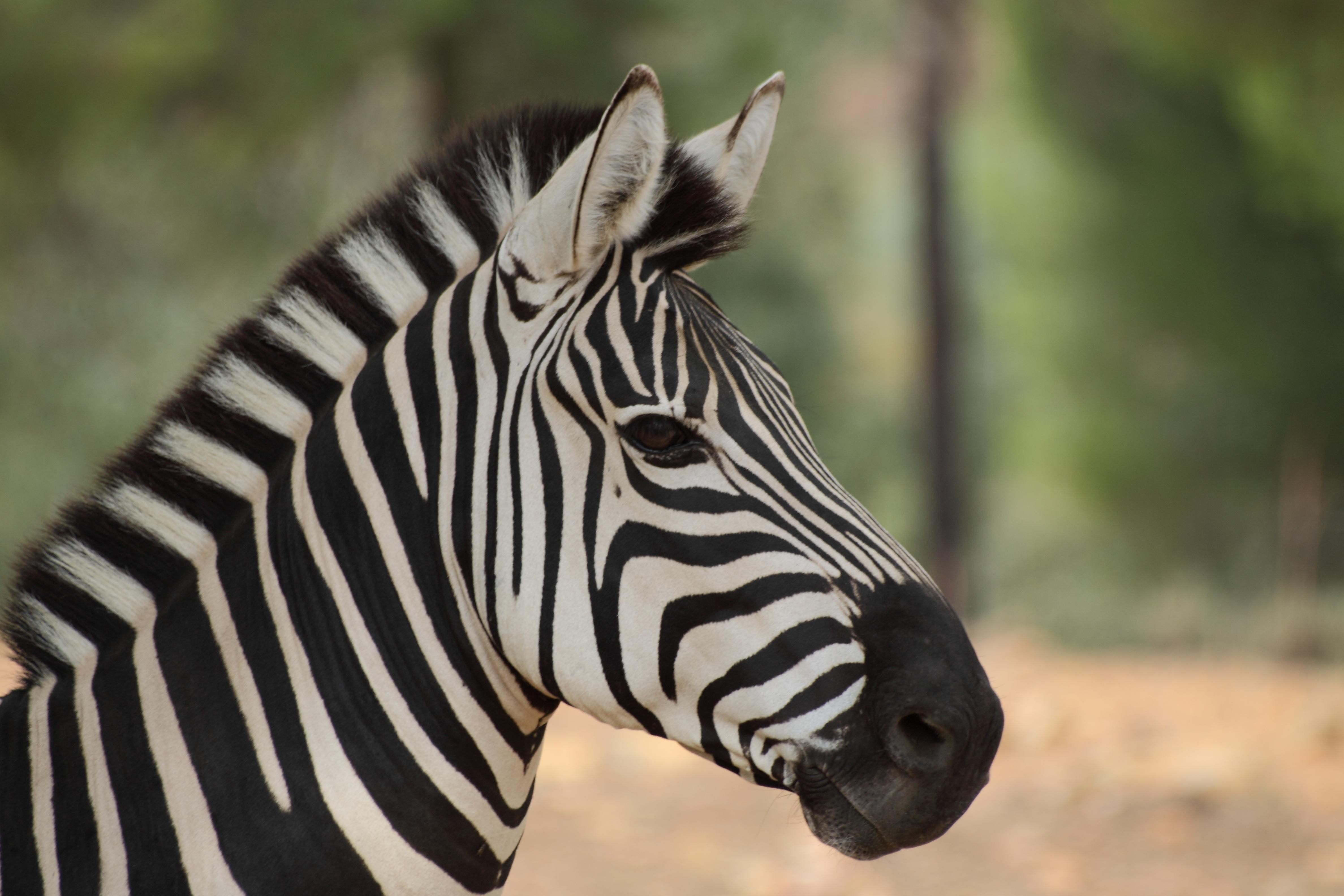 Zebra O Cebra Yahoo cebra | fotos d...
