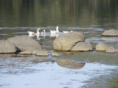 patos en la charca