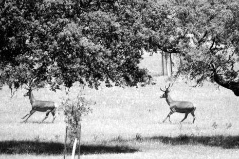 trenada de ciervos