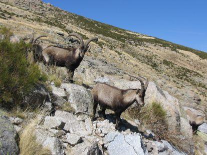 cabras montesas en gredos