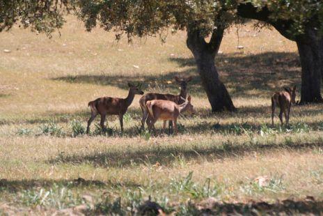 rebaños de ciervos