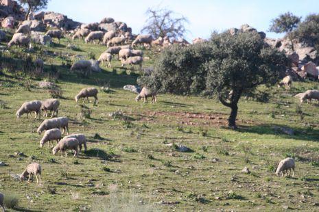 oveja pastando en el campo