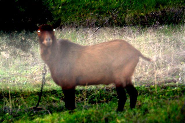 cabra terrestre
