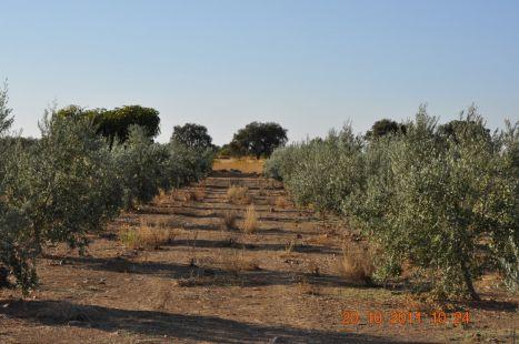 unos olivitos
